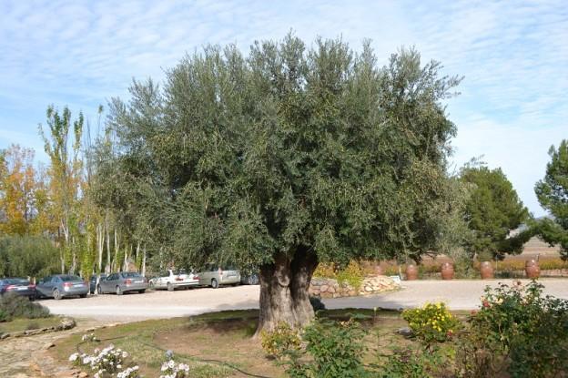 El olivo de Casa de la Ermita