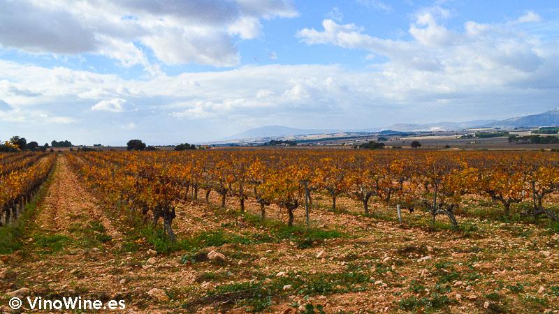 La viña de Bodega Rafael Cambra en Fontanars dels Alforins